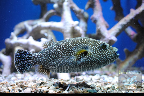 Guinea Fowl Pufferfish (Arothron Meleagris)