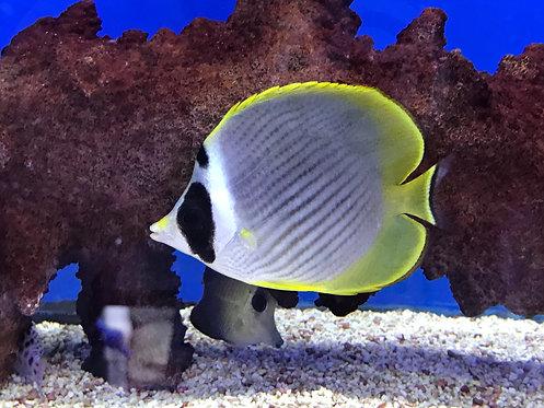 Panda Philippine Butterflyfish (Chaetodon Adiergastos)