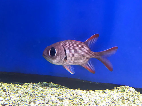 Big Eye Squirrelfish (Myripristis Species)