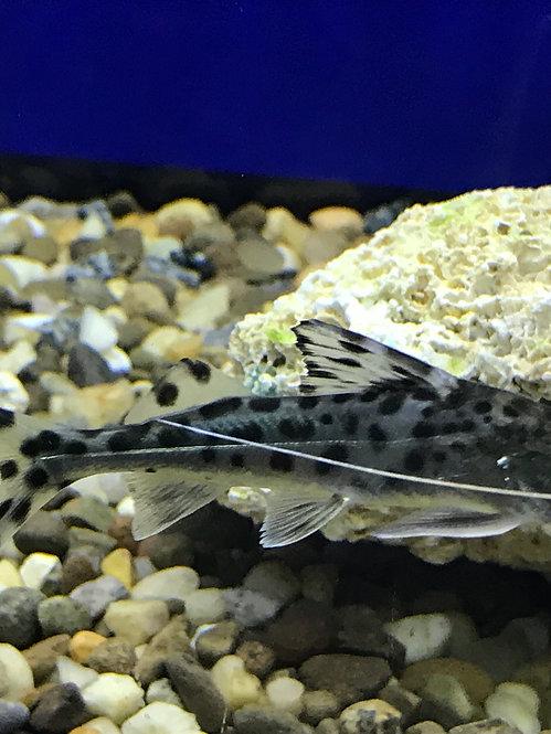 Pictus Catfish (Pimelodus Pictus)