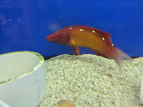 Red Diana Hogfish Adult (Bodianus Diana)