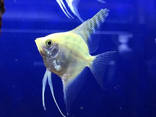 Platinum Pearlscale Angelfish (Pterophyllum sp.)