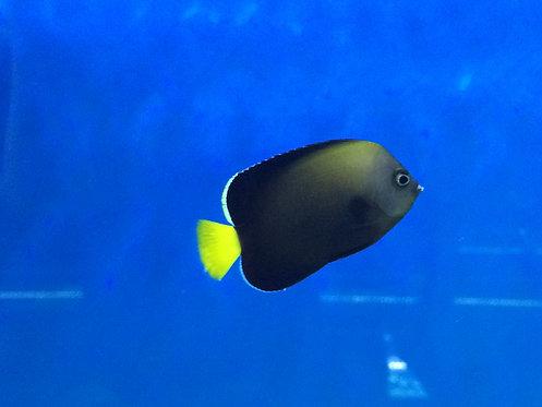 Bluespotted Angelfish (Chaetodontoplus caeruleopunctatus)