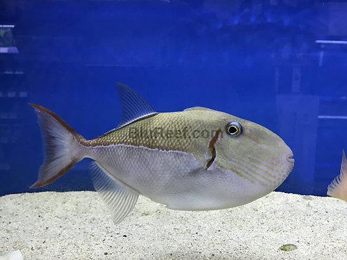 Gold Back Triggerfish (Xanthichthys caeruleolineatus)