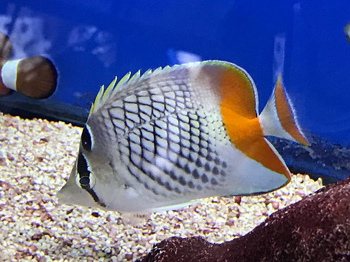 Pearlscale Butterflyfish (Chaetodon Xanthurus)
