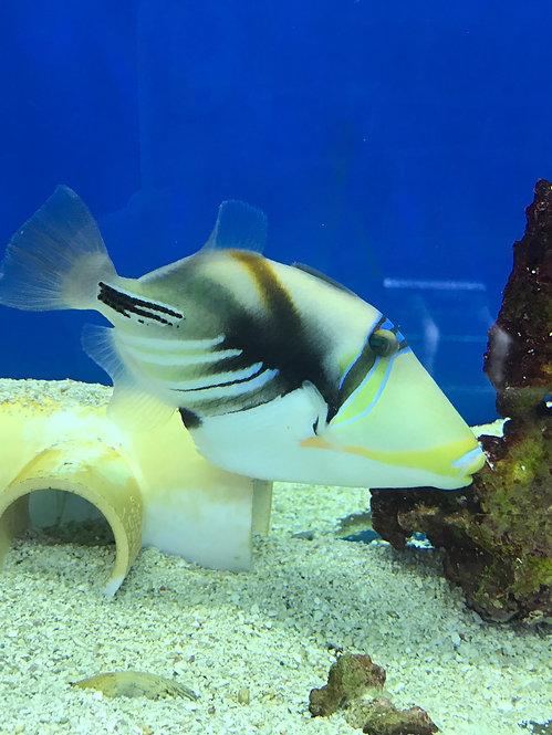 Humu Picasso Triggerfish (Rhinecanthus Aculeatus)