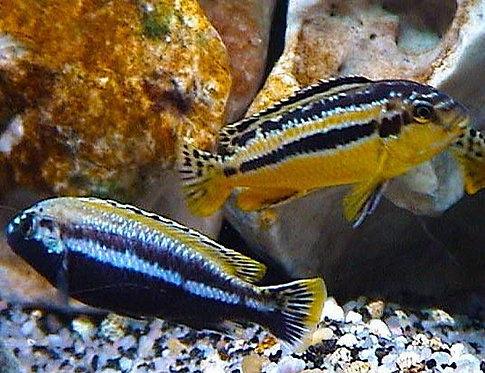 Auratus Cichlid (Melanochromis Auratus)