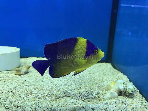 Venustus Pygmy Angelfish (Centropyge venustus)