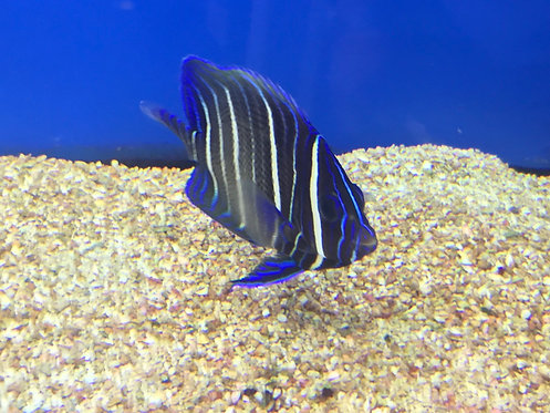 Six Bar Angelfish (Pomacanthus sexstriatus)