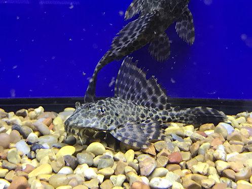 Marble Leopard Pleco (Pterygoplichthys Gibbiceps)