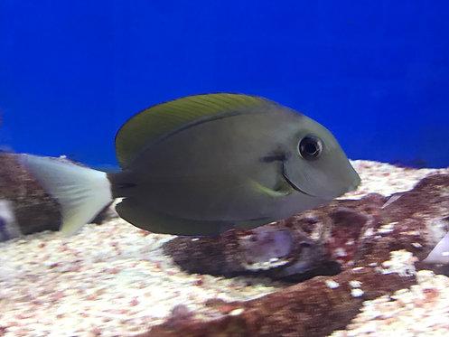 Epaulette Surgeonfish (Acanthurus nigricauda) Eyeline Tang