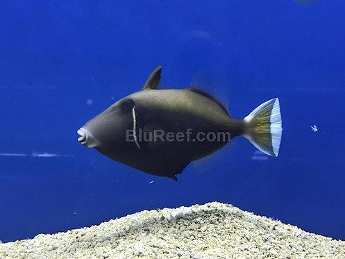 White Tip Half Moon Triggerfish (Sufflamen chrysopterus)