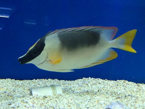 Magnificent Rabbitfish (Siganus magnificus)