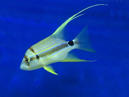 Hi Fin Snapper (Symphorichthys spilurus)