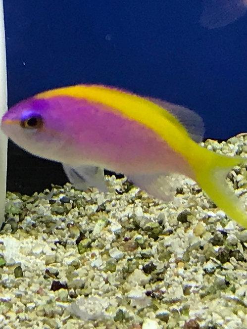 Evansi / Yellowtail Goldie Anthias (Pseudanthias Evansi)