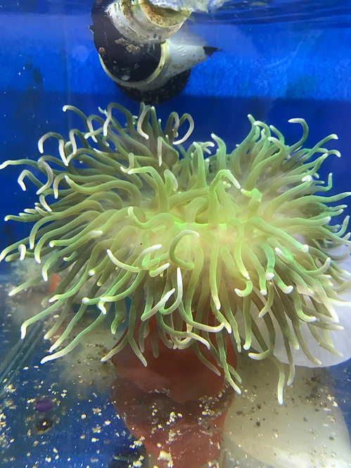 Green Long Tentacle Anemone 4-5""