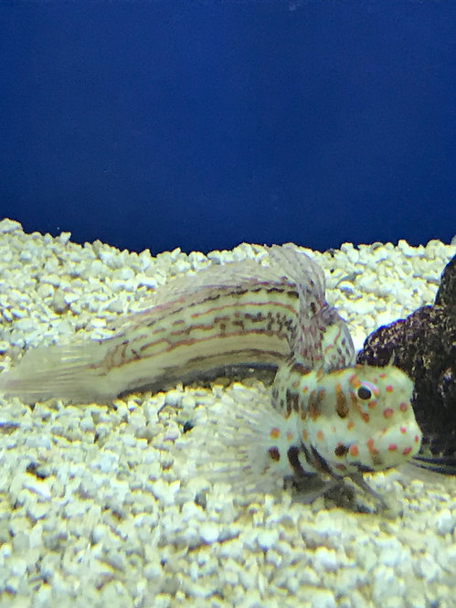 Orange Spotted Blenny (Blenniella chrysospilos)