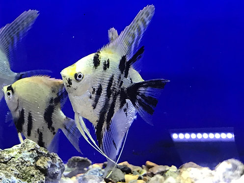 Tricolor Angelfish (Pterophyllum scalare)