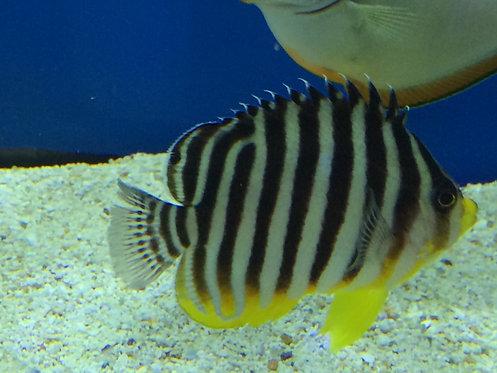 Multibar Angelfish  (Paracentropyge multifasciata)