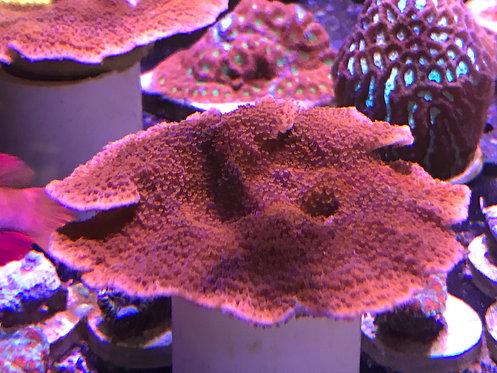 Orange Montipora Cap