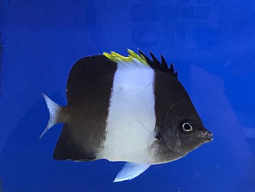Zoster Black Pyramid Butterflyfish (Hemitaurichthys Zoster)