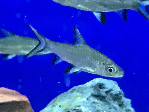 Bala Shark (Balantiocheilus Melanopterus)
