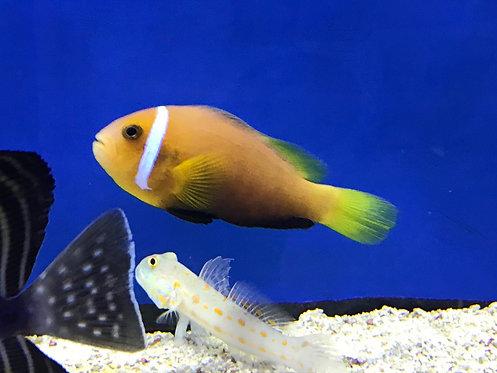 Blackfin Clown Fish Maldives (Amphiprion Nigripes)