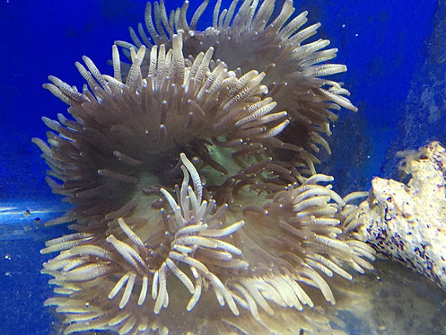 "6-7"" Beaded Long Tentacle Anemone (Heteractis Aurora)"