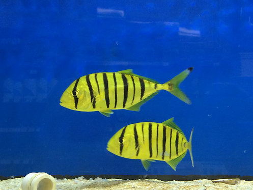 Yellow Pilot Fish / Gold Trevally (Gnathanodon speciosus)