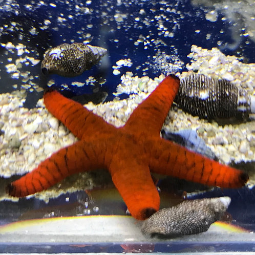 Linkia Sea Star Red (Linckia Laevigata)