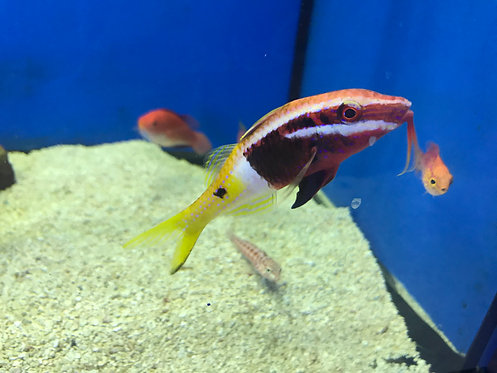 Bicolor Goatfish (Parupeneus barberinoides)