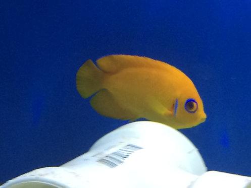 Lemonpeel Angelfish (Centropyge flavissima)