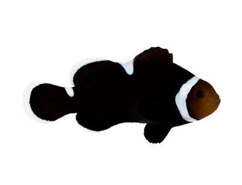 Extreme Misbar Black Captive-Bred Designer Clownfish (Amphiprion Ocellaris )