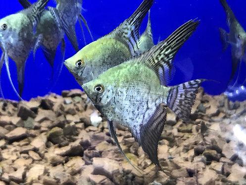 Leopard Angelfish (Pterophyllum Scalare)