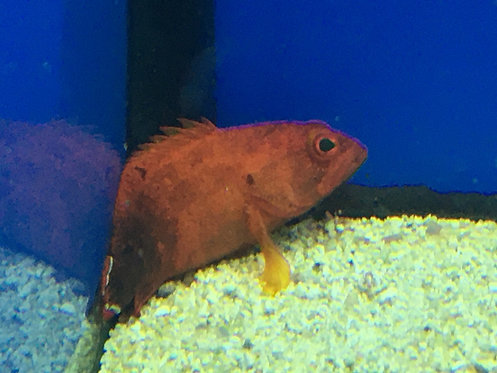 V-Tail Red Flag Grouper (Cephalopholis Urodelus)
