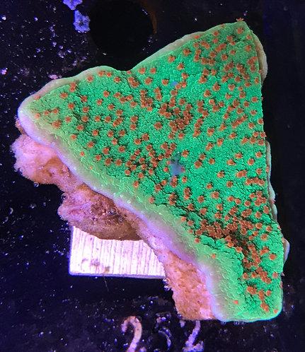 "Green Pixie Dust Chalice Frag 1.5"""