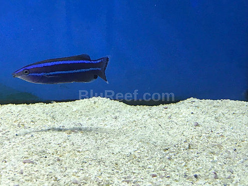 Four Line Wrasse Cleaner Wrasse Red Sea