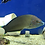 Thumbnail: Grey Headed Wrasse (Halichoeres Leucurus)