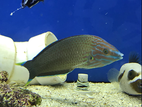 Grey Headed Wrasse (Halichoeres Leucurus)