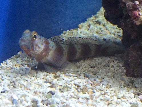 Wheeler's Shrimp Goby (Amblyeleotris Wheeleri)