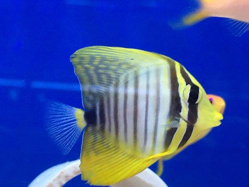 Juvenile Desjardini Red Sea Sailfin Tang (Zebrasoma Desjardini)