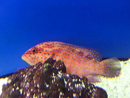 Miniatus Grouper (Cephalopholis miniatus)