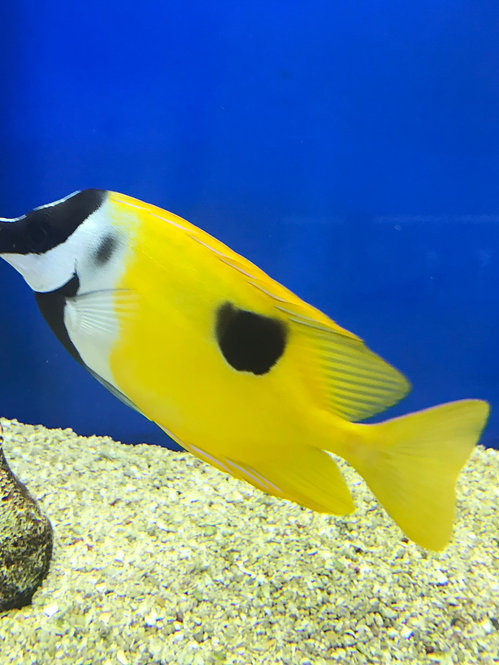 One Spot Foxface Rabbitfish (Signus unimaculatus)