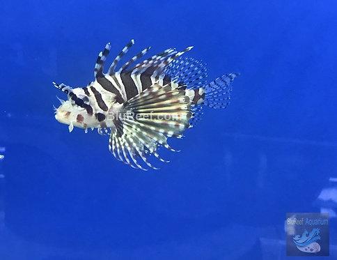 Dwarf / Zebra Lionfish (Dendrochirus zebra)