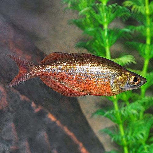 "Rainbow Red Irian 2.5""(Glossolepis Incicus)"