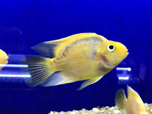 Yellow Parrot Cichlid (Cichlasoma Sp.)