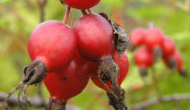 How to Gather Rose Hips