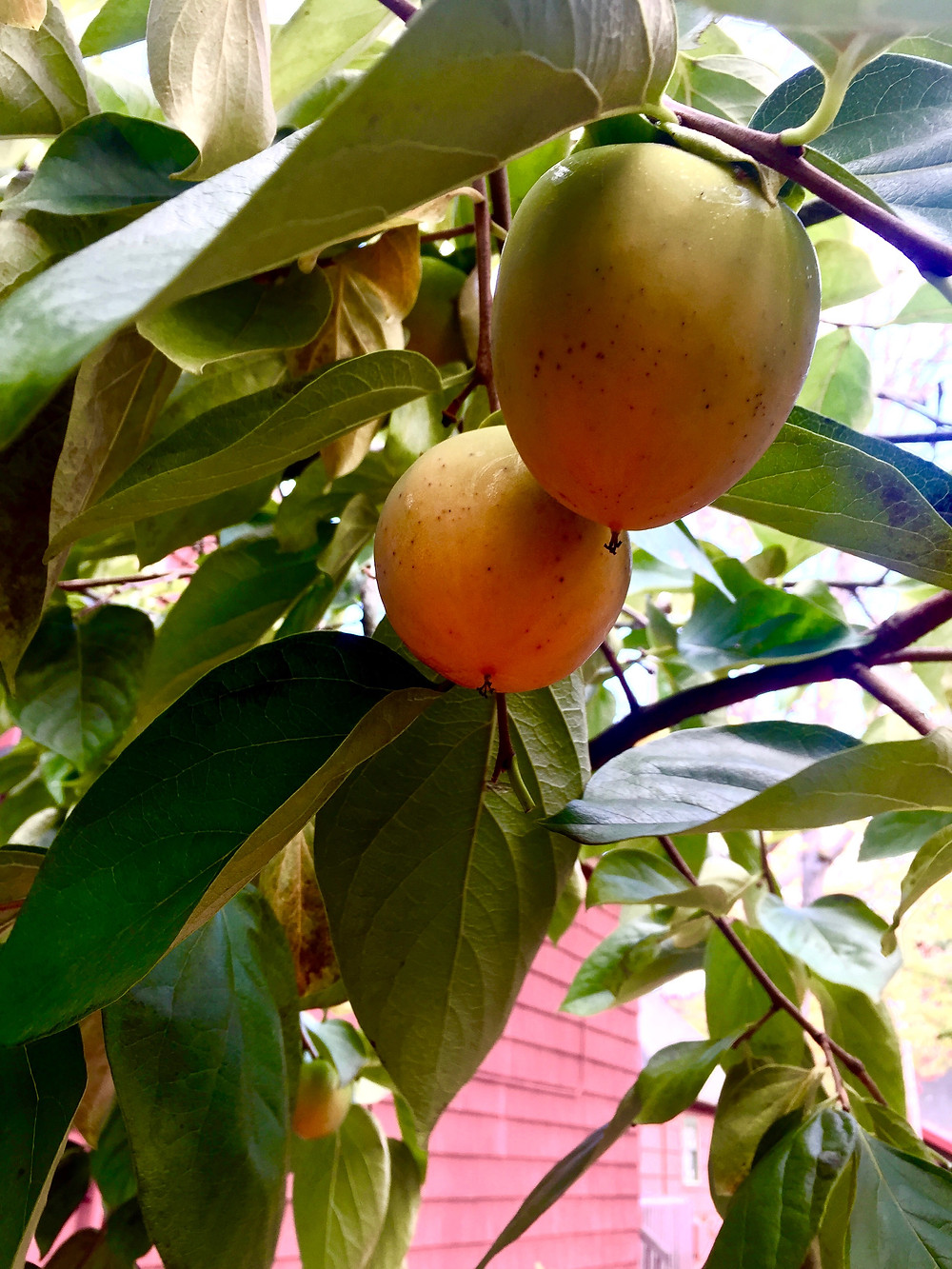 Persimmons growing in the PNW - Gilman Village, Issaquah WA