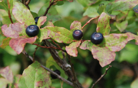 Mountain Huckleberry