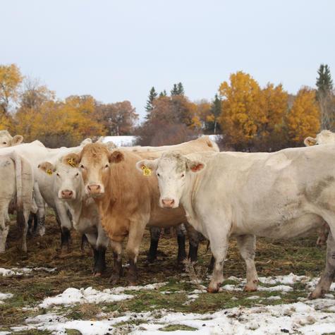 Cows at the lake